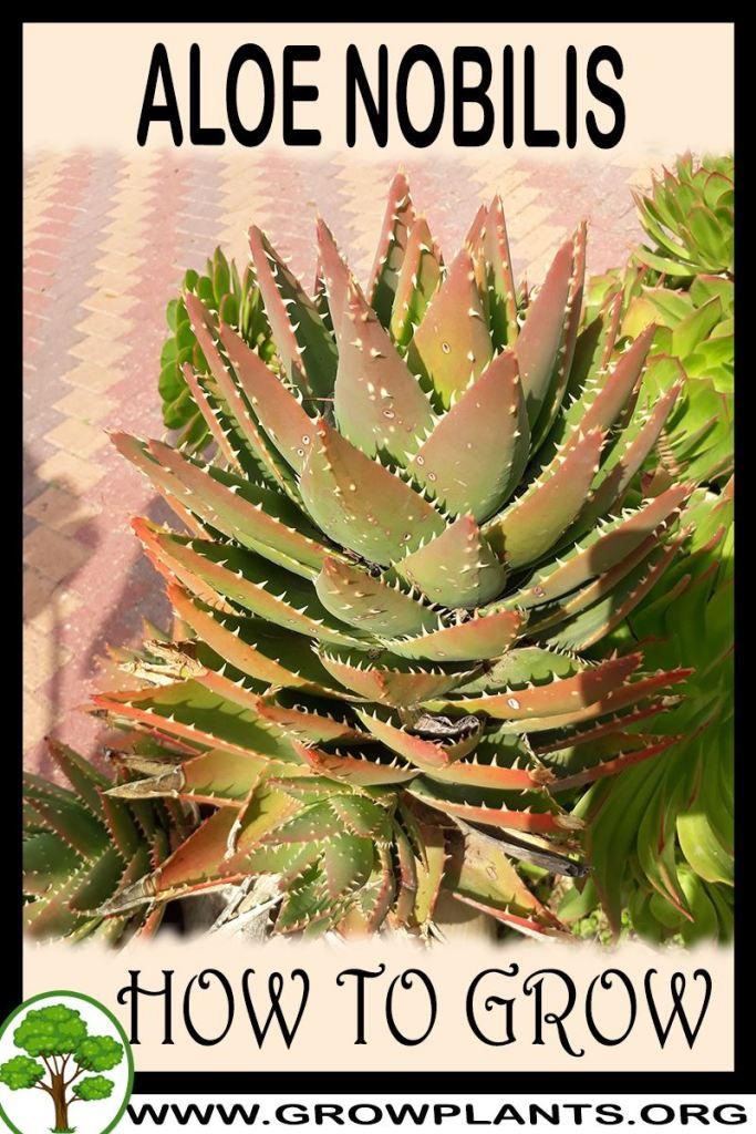 How to grow Aloe nobilis
