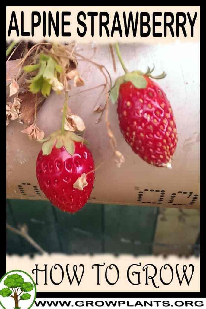 How to grow Alpine strawberry