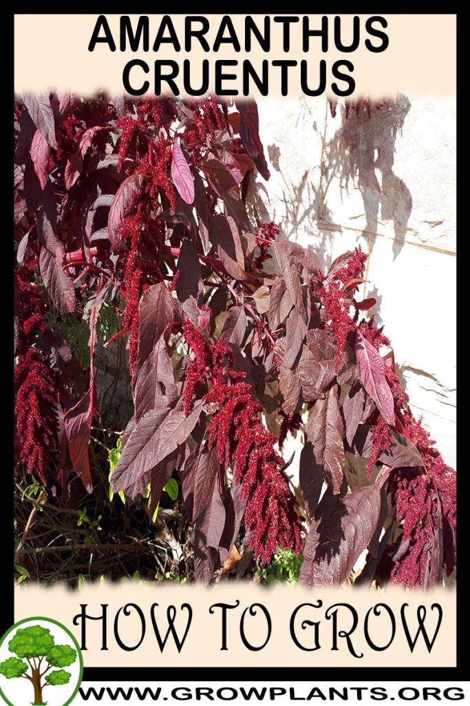 How to grow Amaranthus cruentus