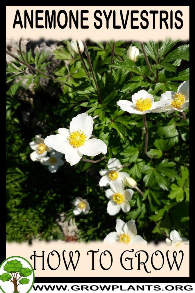 How to grow Anemone sylvestris