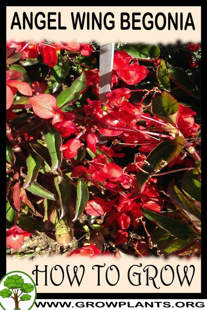 How to grow Angel wing Begonia