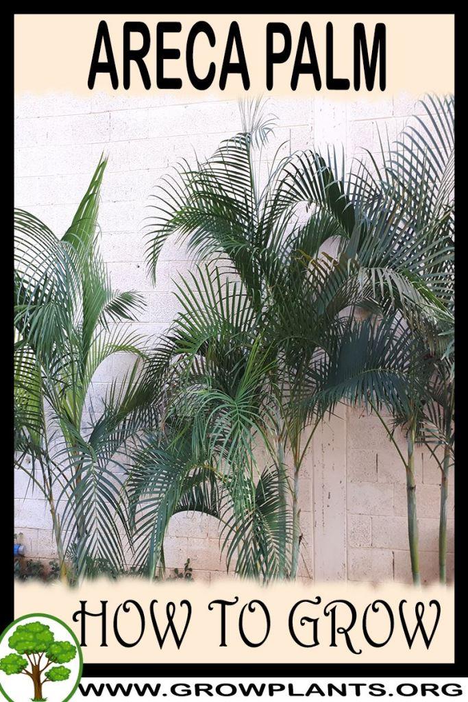How to grow Areca palm