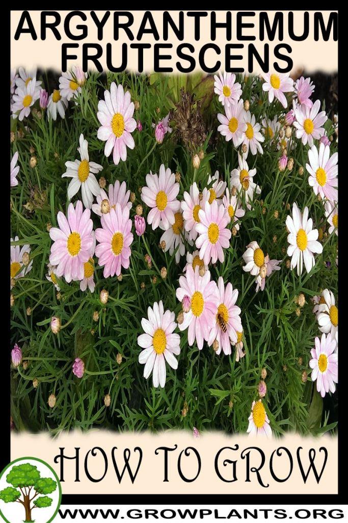 How to grow Argyranthemum frutescens