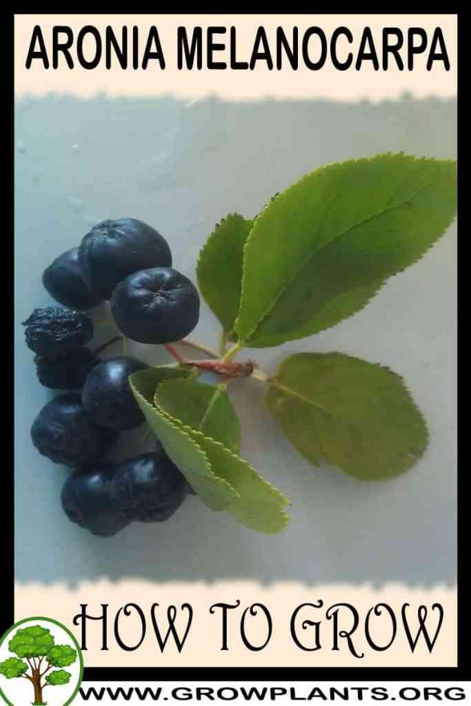 How to grow Aronia melanocarpa