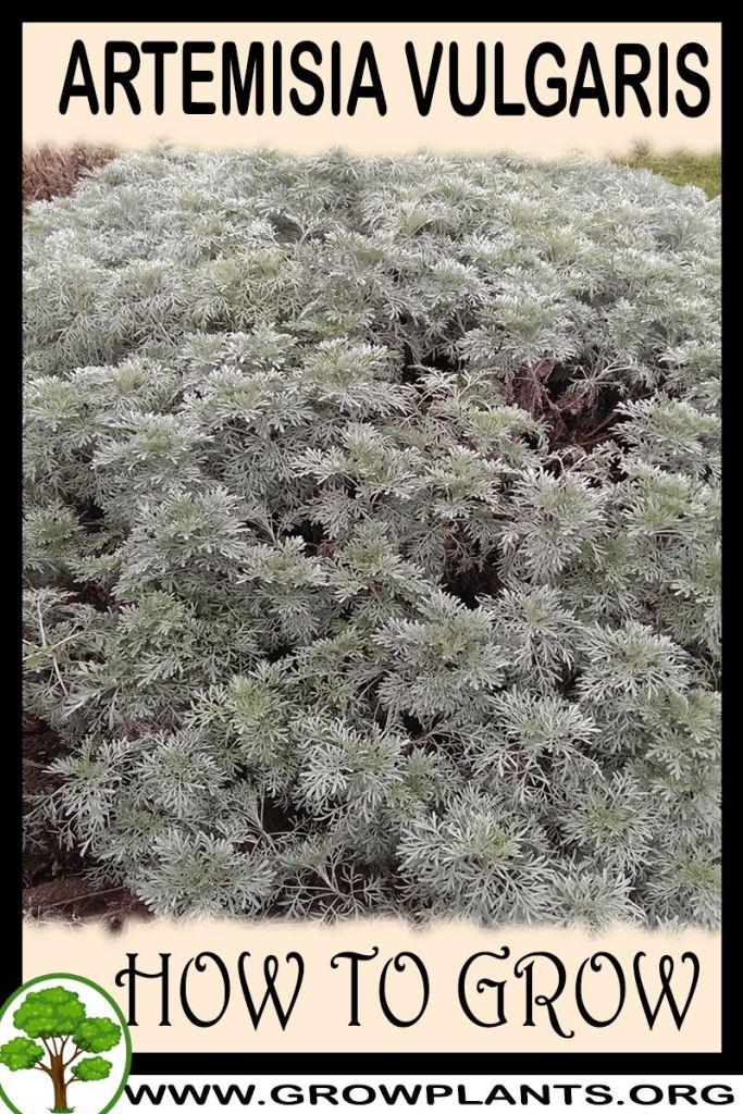 How to grow Artemisia vulgaris