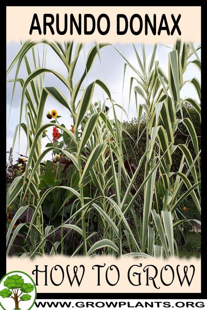 How to grow Arundo donax