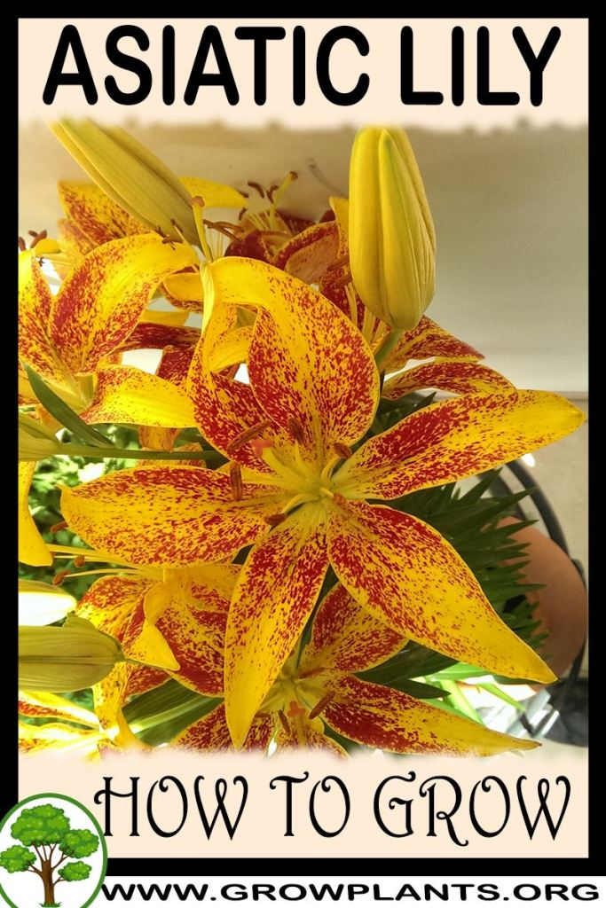 How to grow Asiatic lily