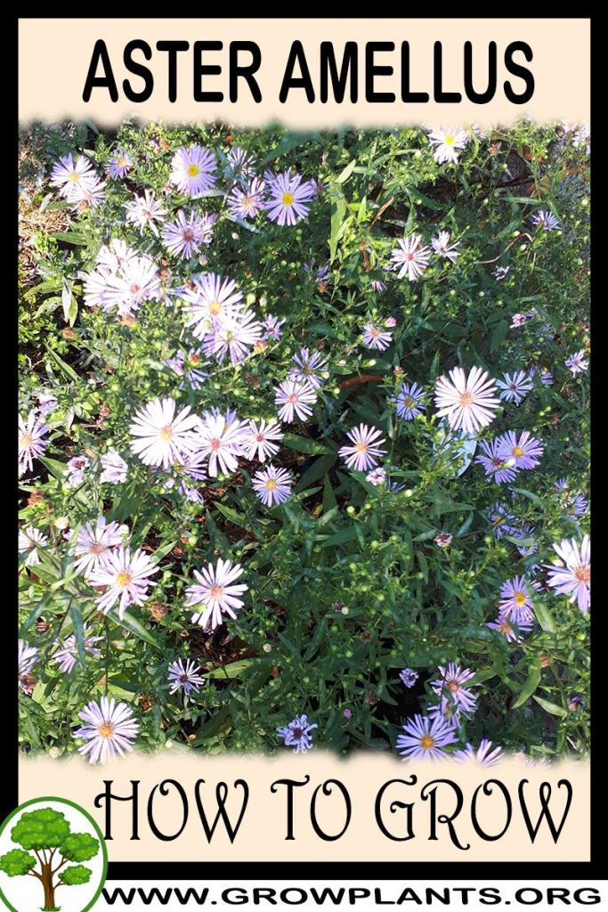 How to grow Aster amellus