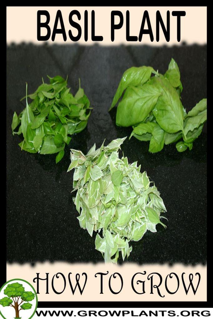 How to grow Basil plant