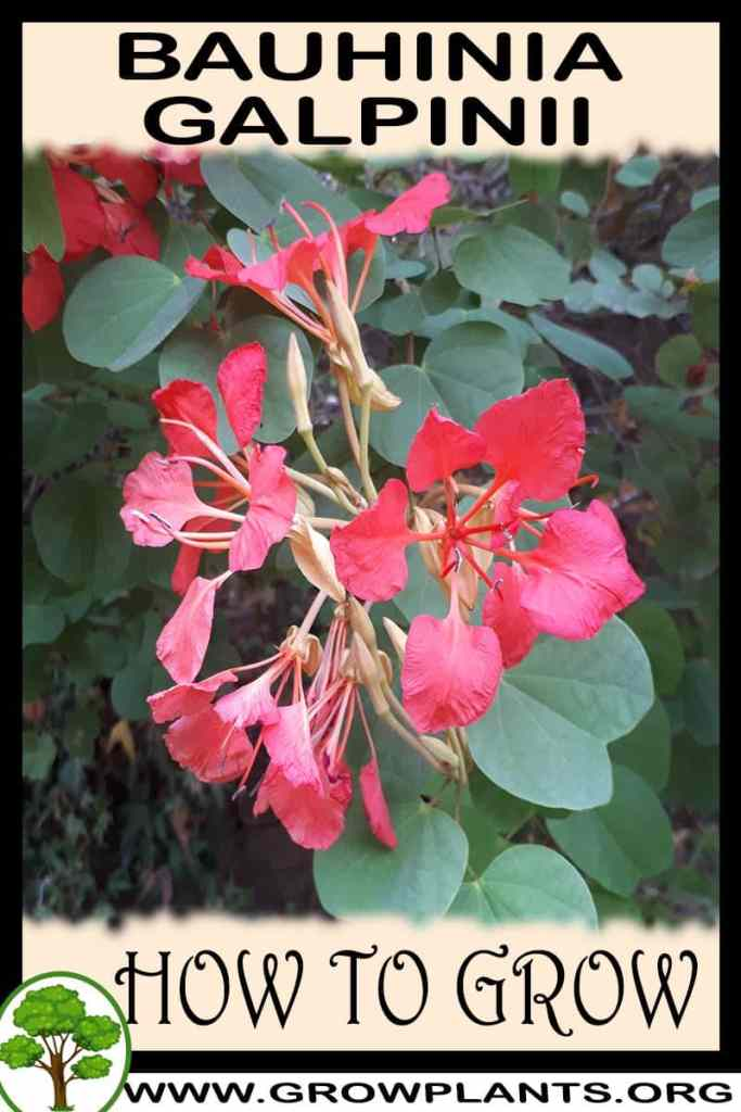 How to grow Bauhinia galpinii