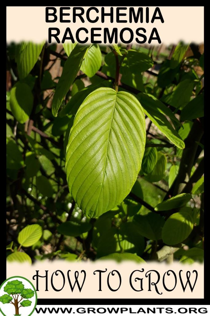 How to grow Berchemia racemosa