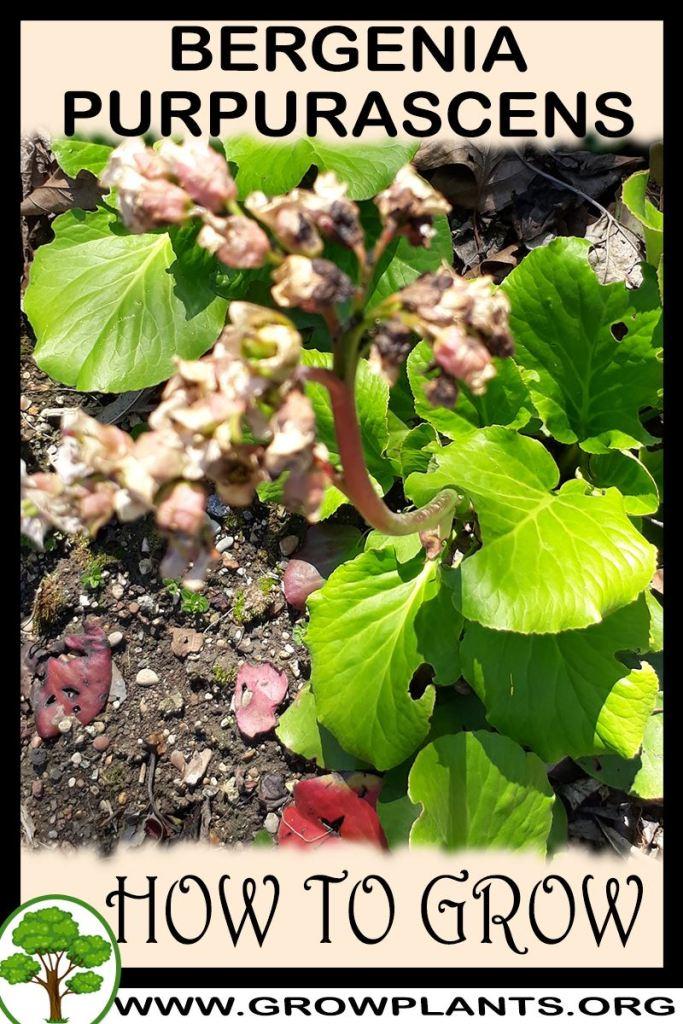 How to grow Bergenia purpurascens