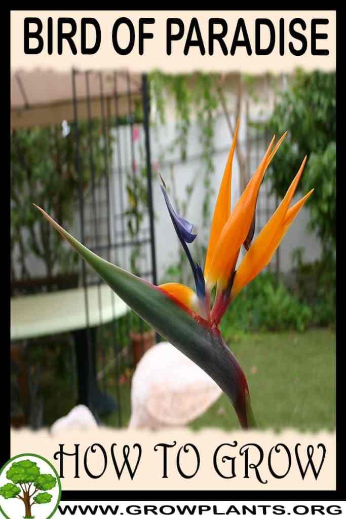 How to grow Bird of paradise flower