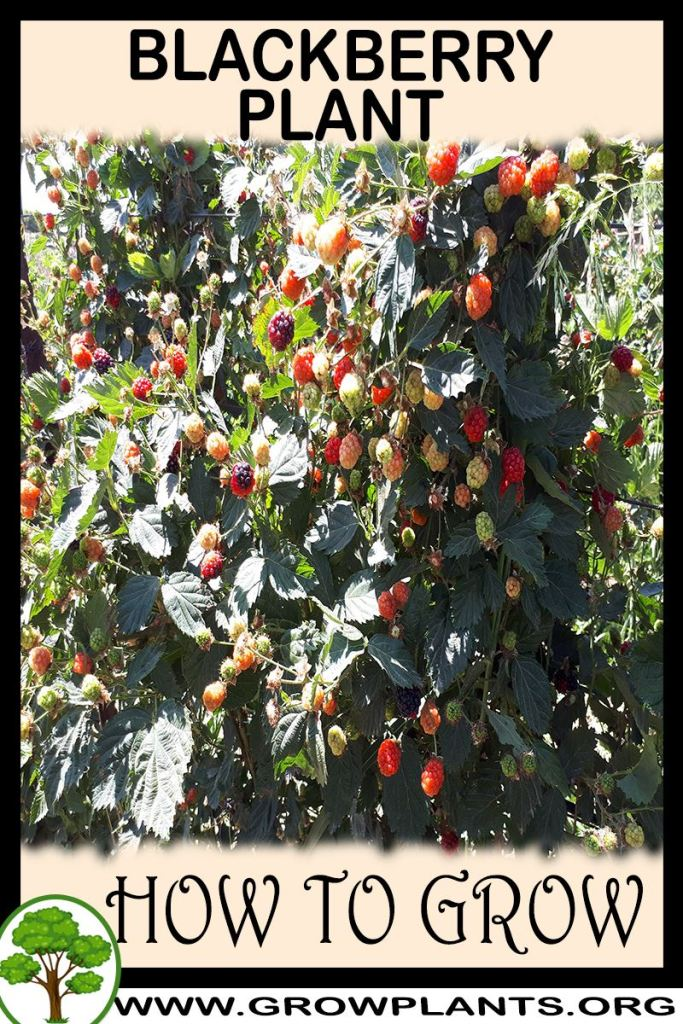 How to grow Blackberry plant