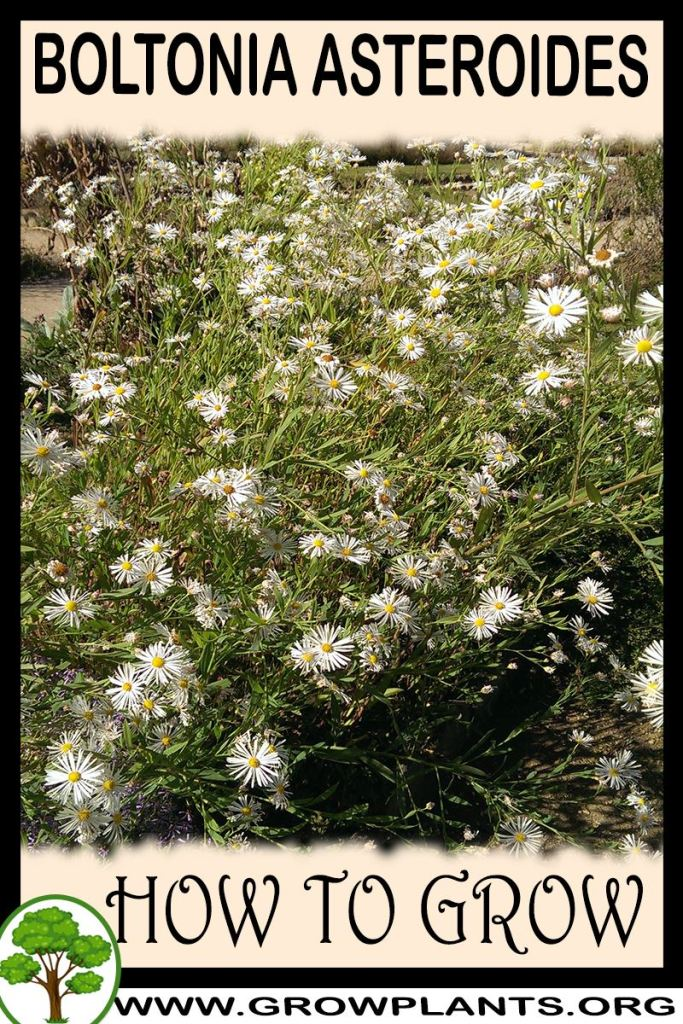 How to grow Boltonia asteroides
