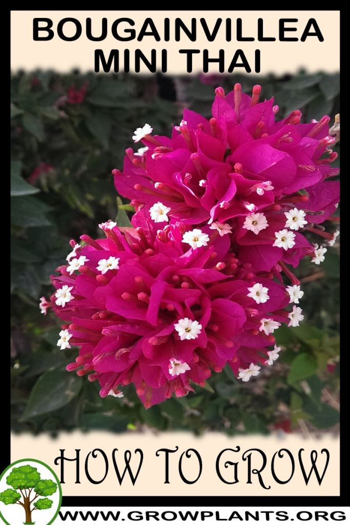 How to grow Bougainvillea mini thai
