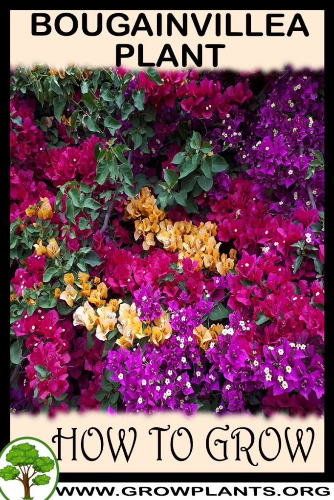 How to grow Bougainvillea plant