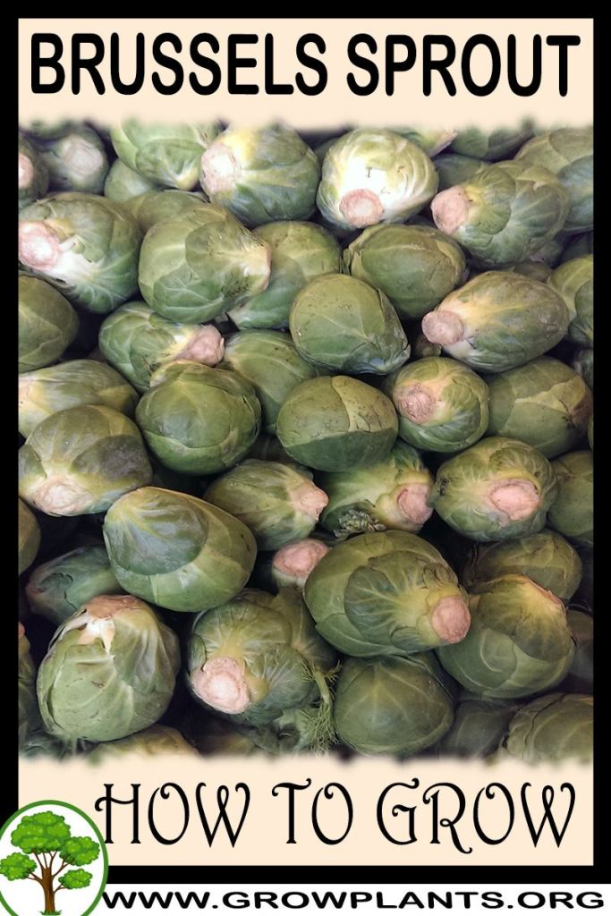 How to grow Brussels sprout