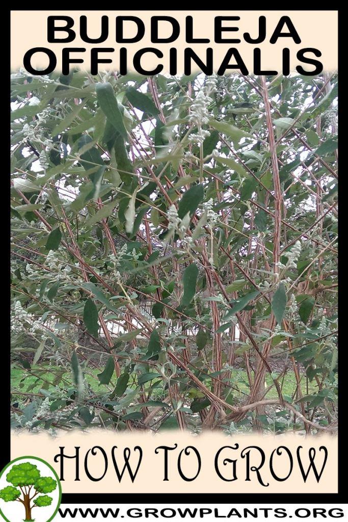 How to grow Buddleja officinalis