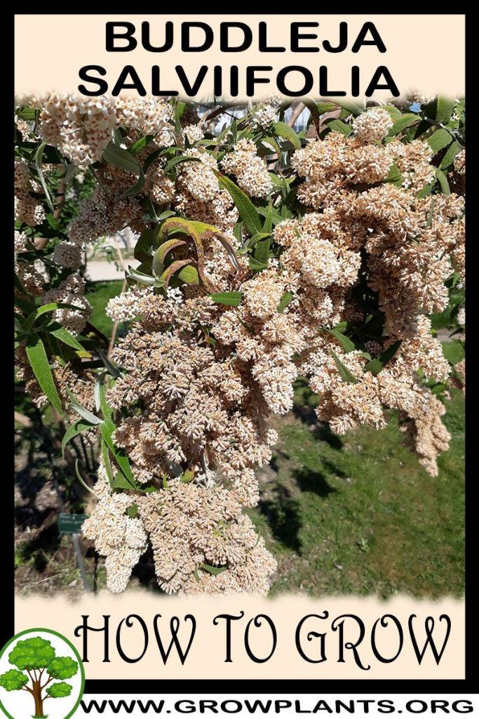 How to grow Buddleja salviifolia