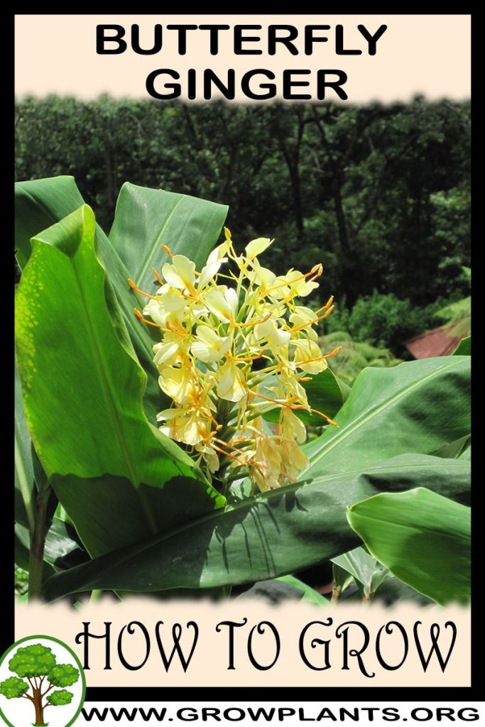 How to grow Butterfly Ginger