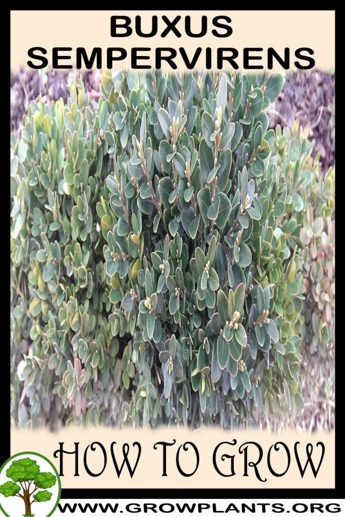How to grow Buxus sempervirens