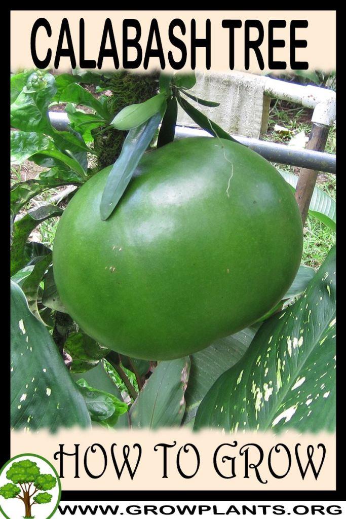 How to grow Calabash Tree