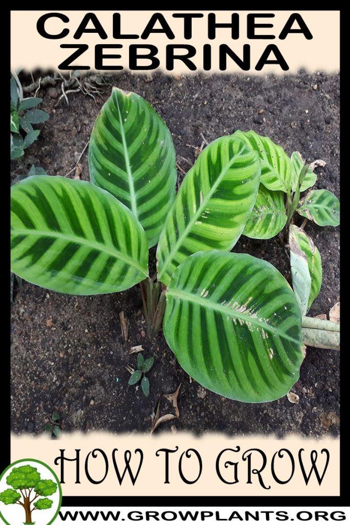 How to grow Calathea zebrina