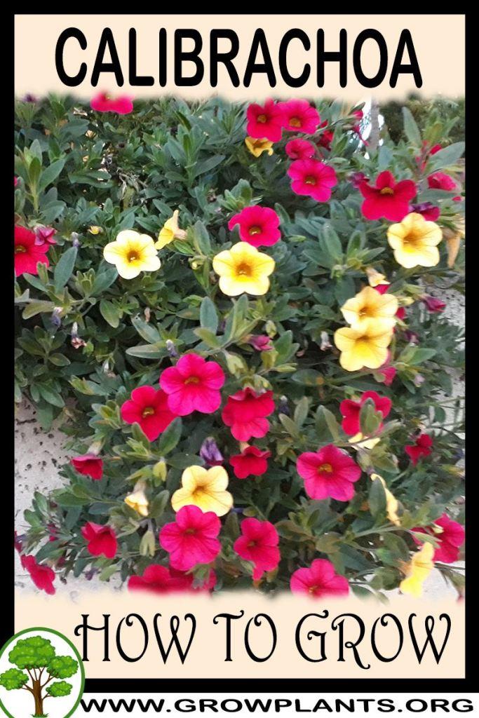 How to grow Calibrachoa