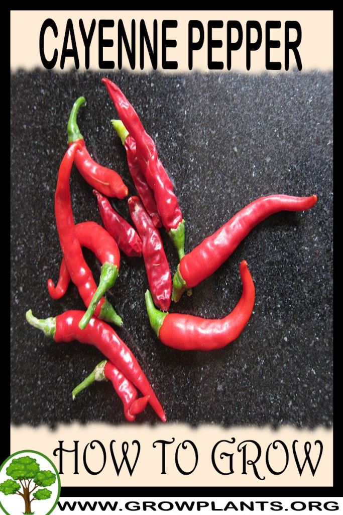 How to grow Cayenne pepper