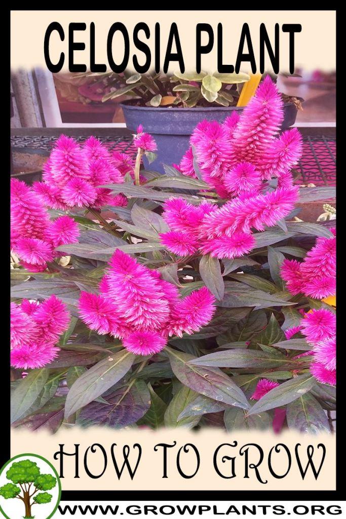 How to grow Celosia plant