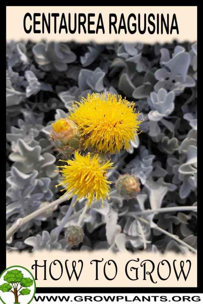 How to grow Centaurea ragusina