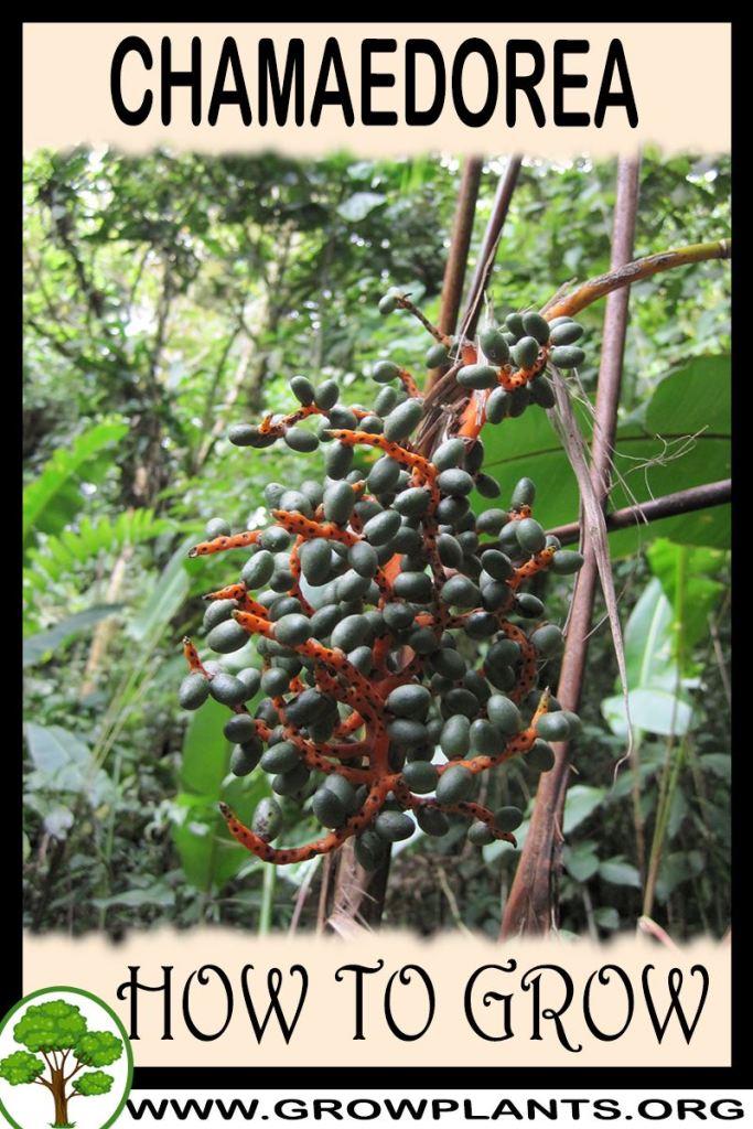 How to grow Chamaedorea