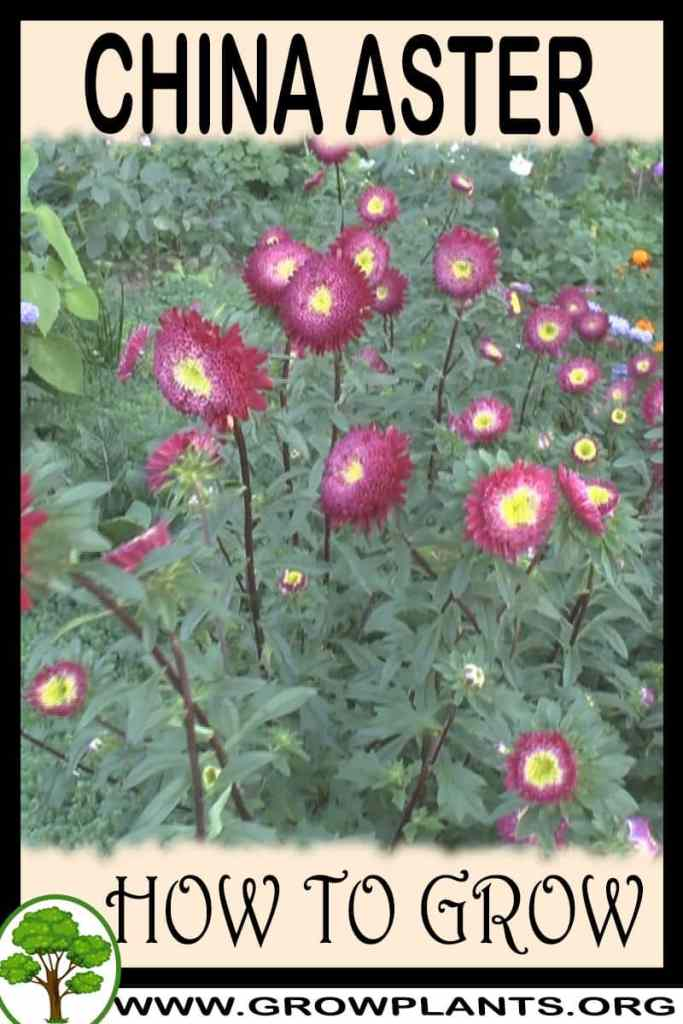 How to grow China aster