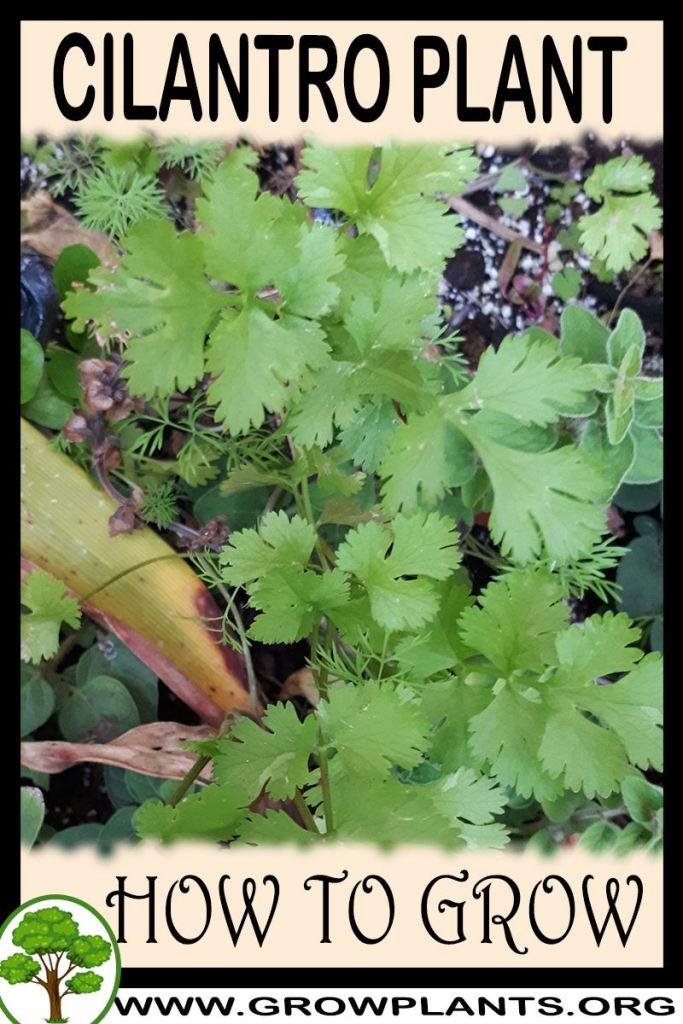 How to grow Cilantro plant