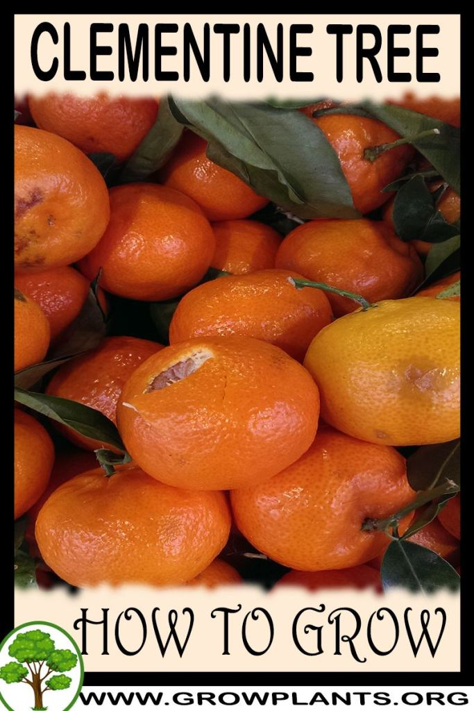 How to grow Clementine tree