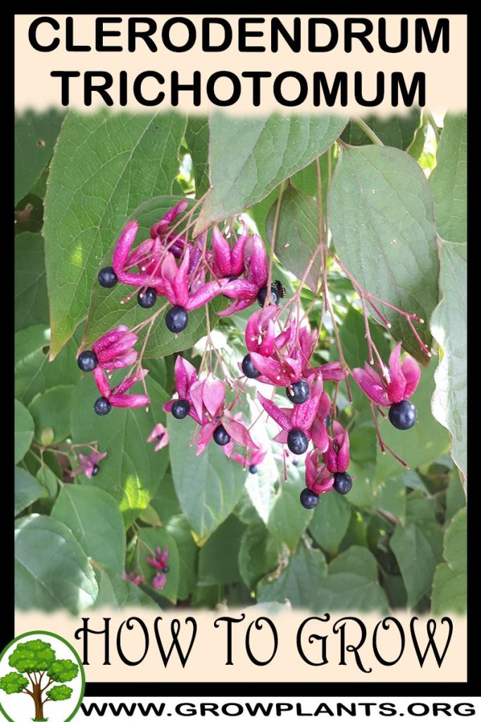 How to grow Clerodendrum trichotomum