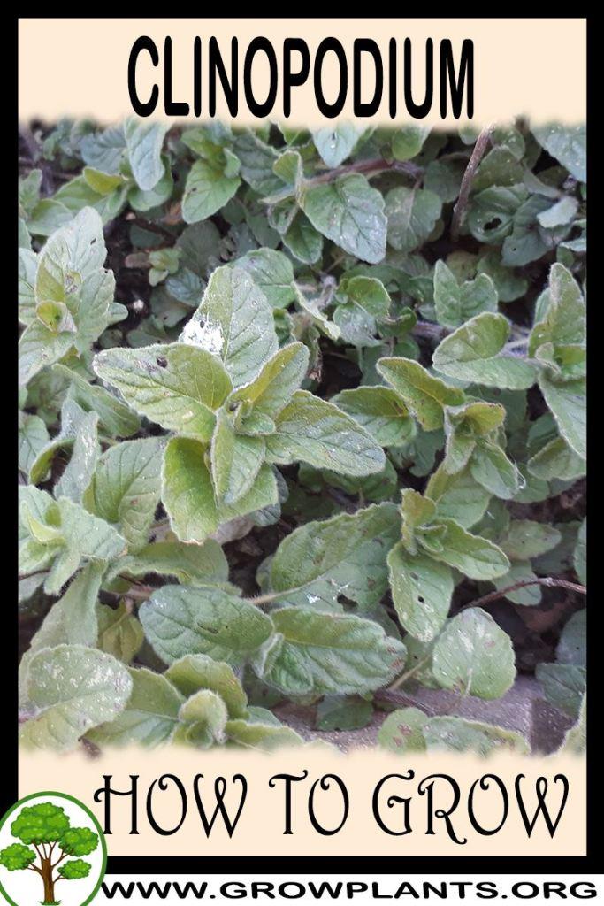 How to grow Clinopodium