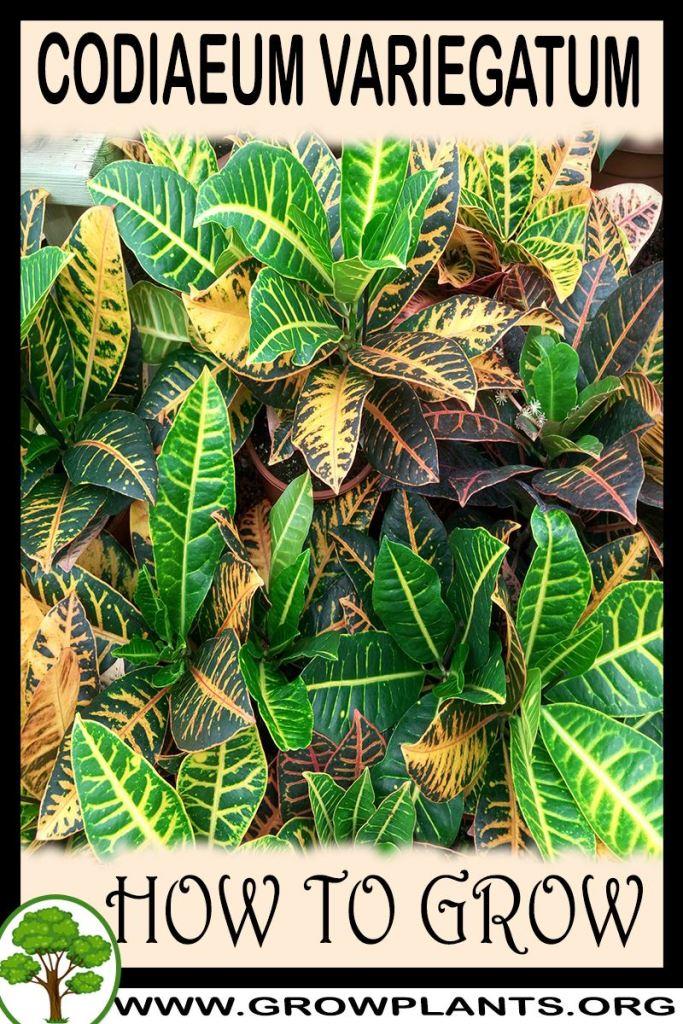 How to grow Codiaeum variegatum
