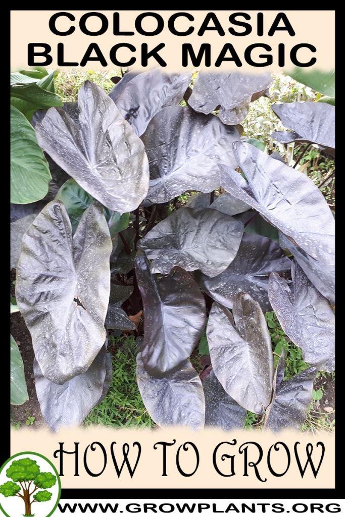 How to grow Colocasia black magic