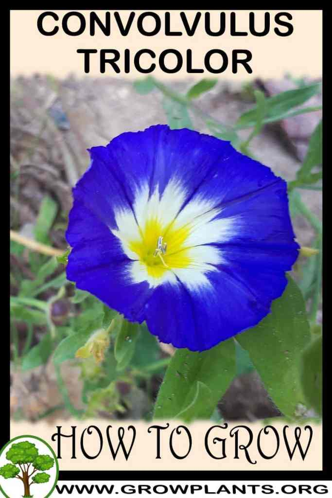 How to grow Convolvulus tricolor