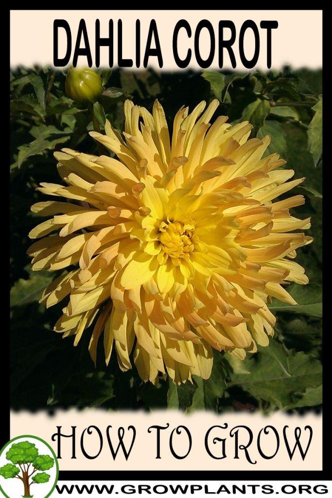 How to grow Dahlia Corot