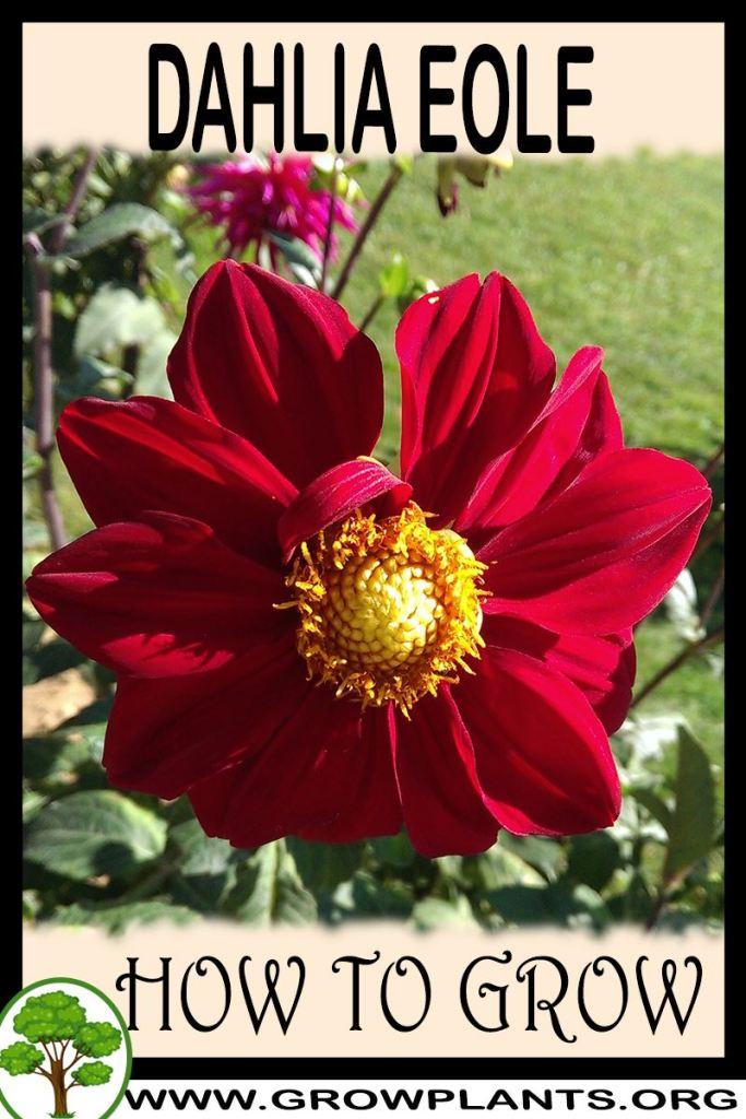 How to grow Dahlia Eole