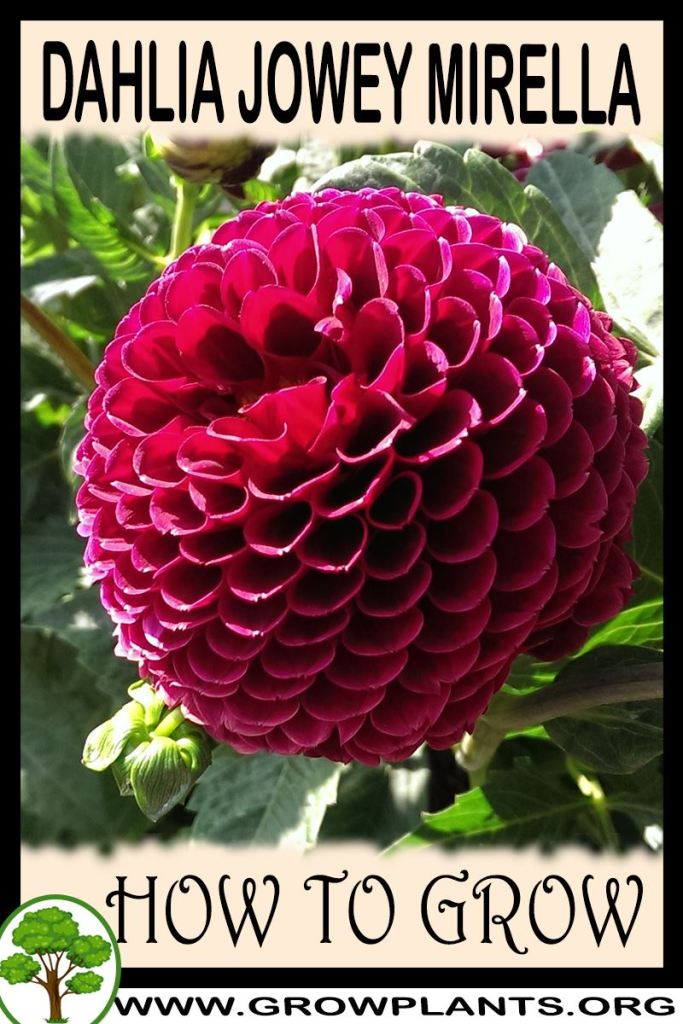 How to grow Dahlia Jowey mirella