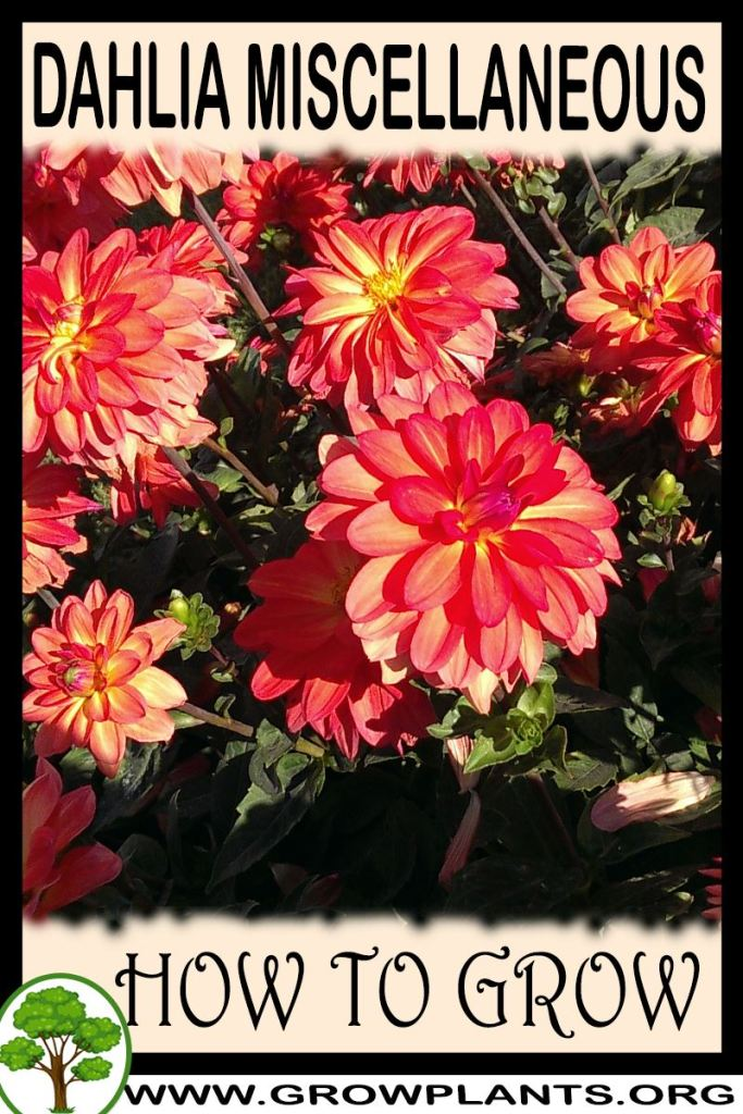 How to grow Dahlia Miscellaneous