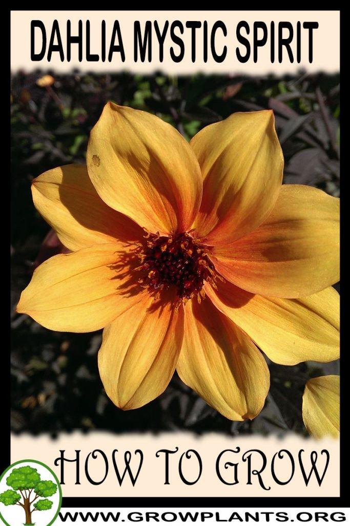 How to grow Dahlia Mystic spirit
