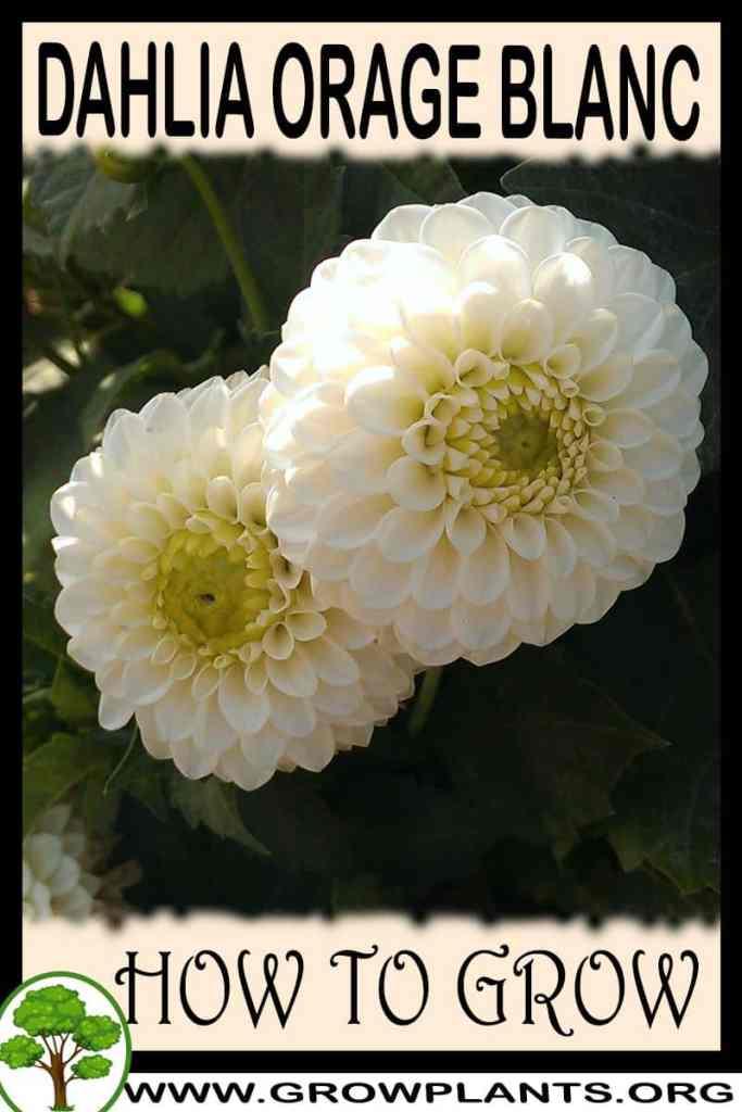 How to grow Dahlia Orage blanc