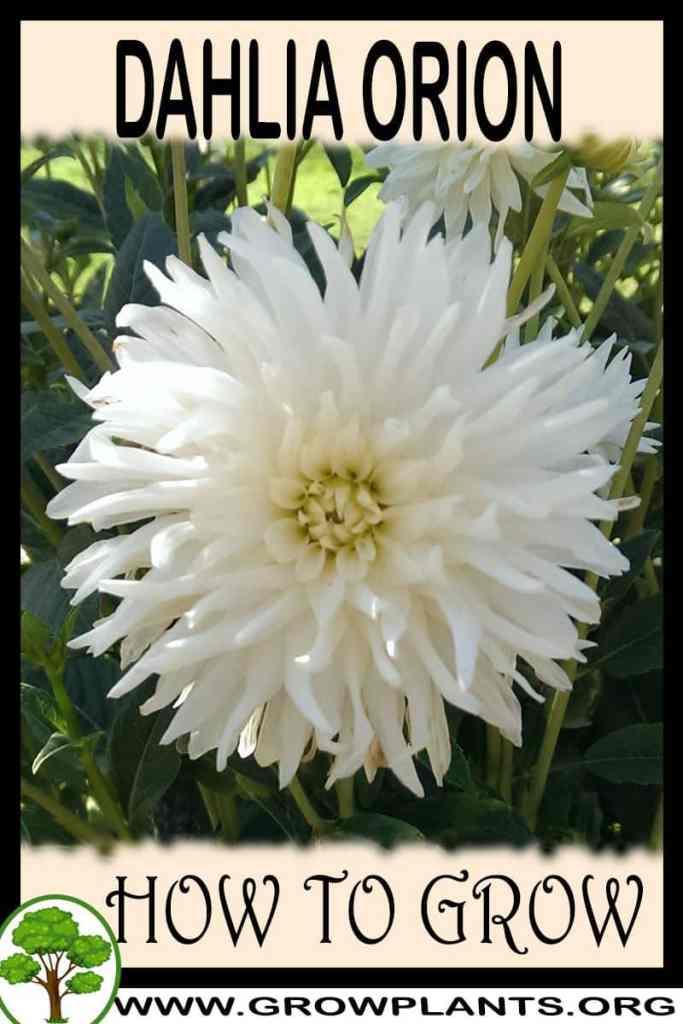 How to grow Dahlia Orion