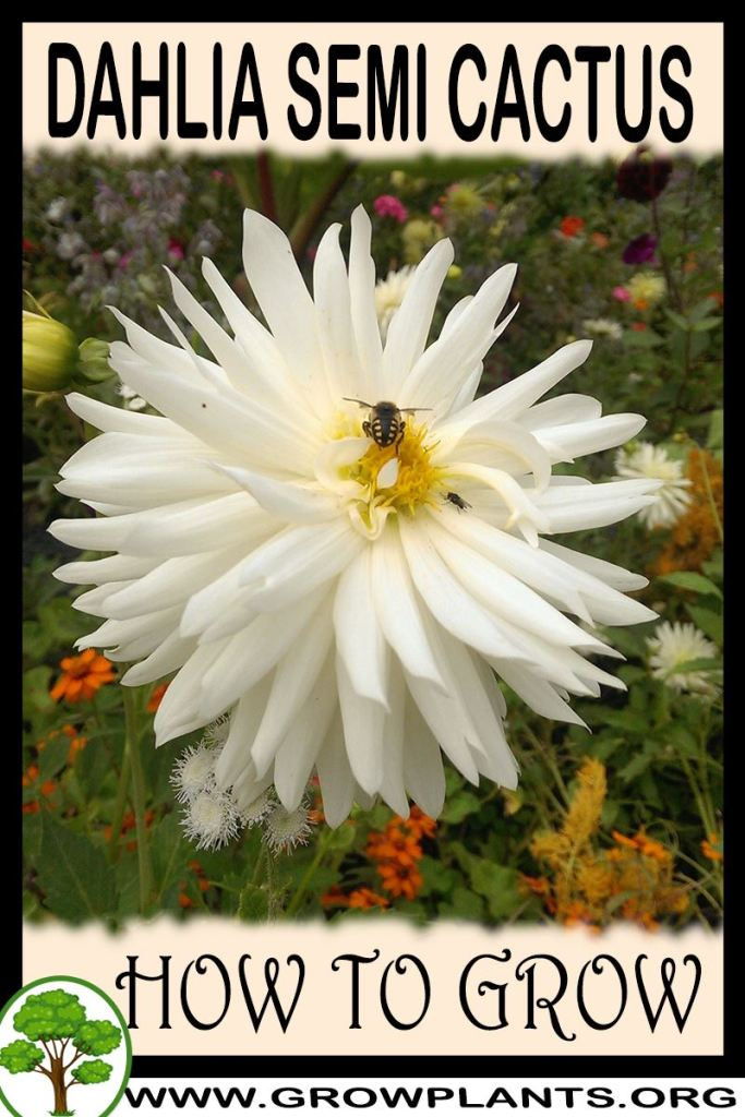 How to grow Dahlia Semi cactus