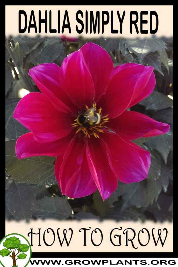 How to grow Dahlia Simply red